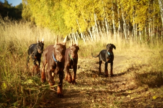 H pupies and golden autumn